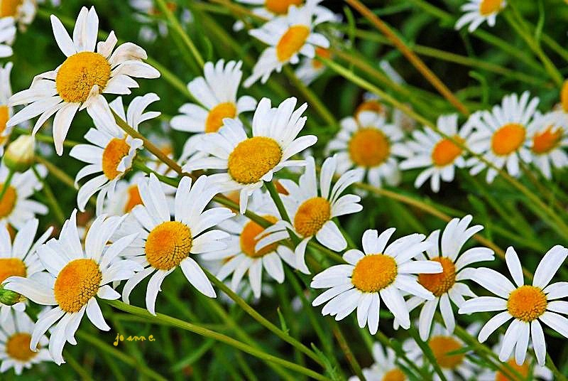Here come the Daisies!