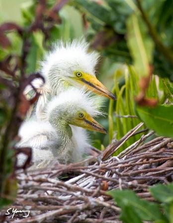 Two Egret Chicks; Wakodahatchee Wetlands, FL