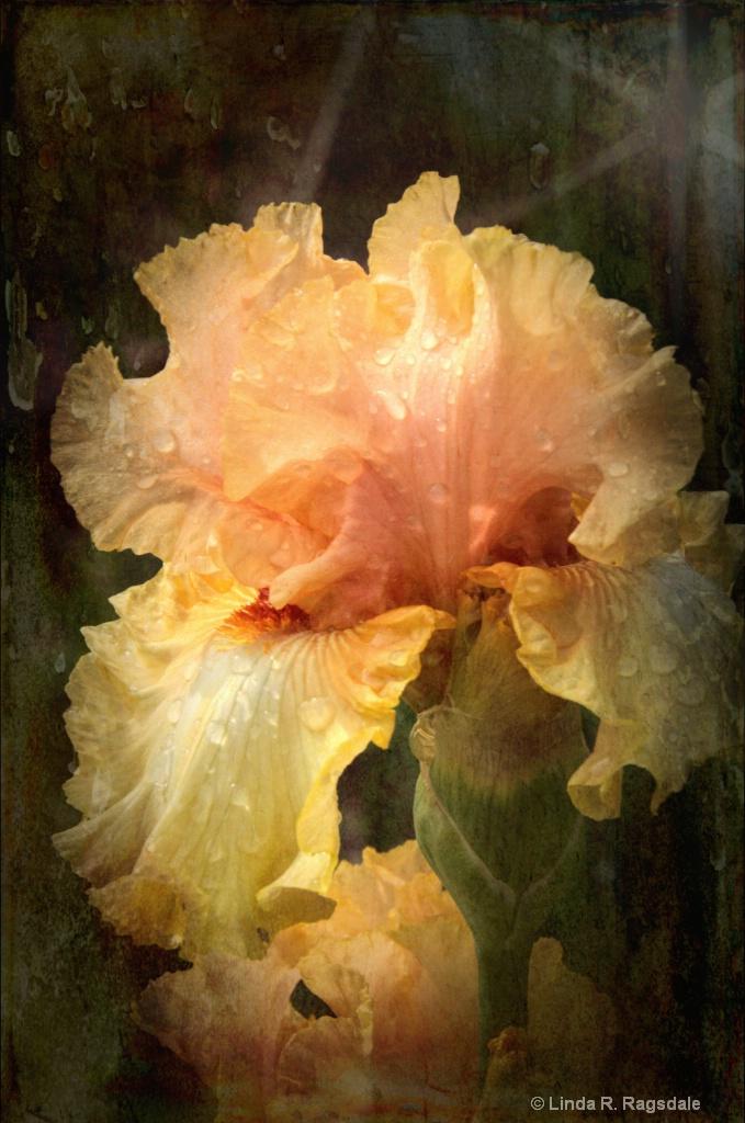 Gilded Edge Iris - ID: 15370433 © Linda R. Ragsdale