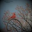 Red Bird in Backy...