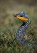 Tree Snake (Austr...