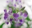 Fiji Orchid