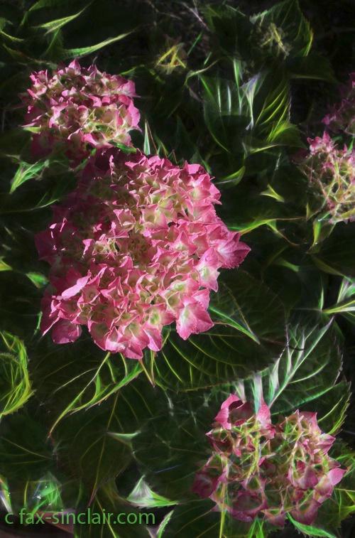 Hydrangea Pink! - ID: 15420779 © Fax Sinclair