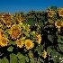 © Thomas C. Geyer PhotoID # 15422552: Sunflowers