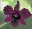 meroen orchid