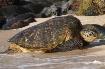 Green Sea Turtle ...