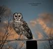 Barred Owl At Sun...