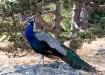 Peacock Poser