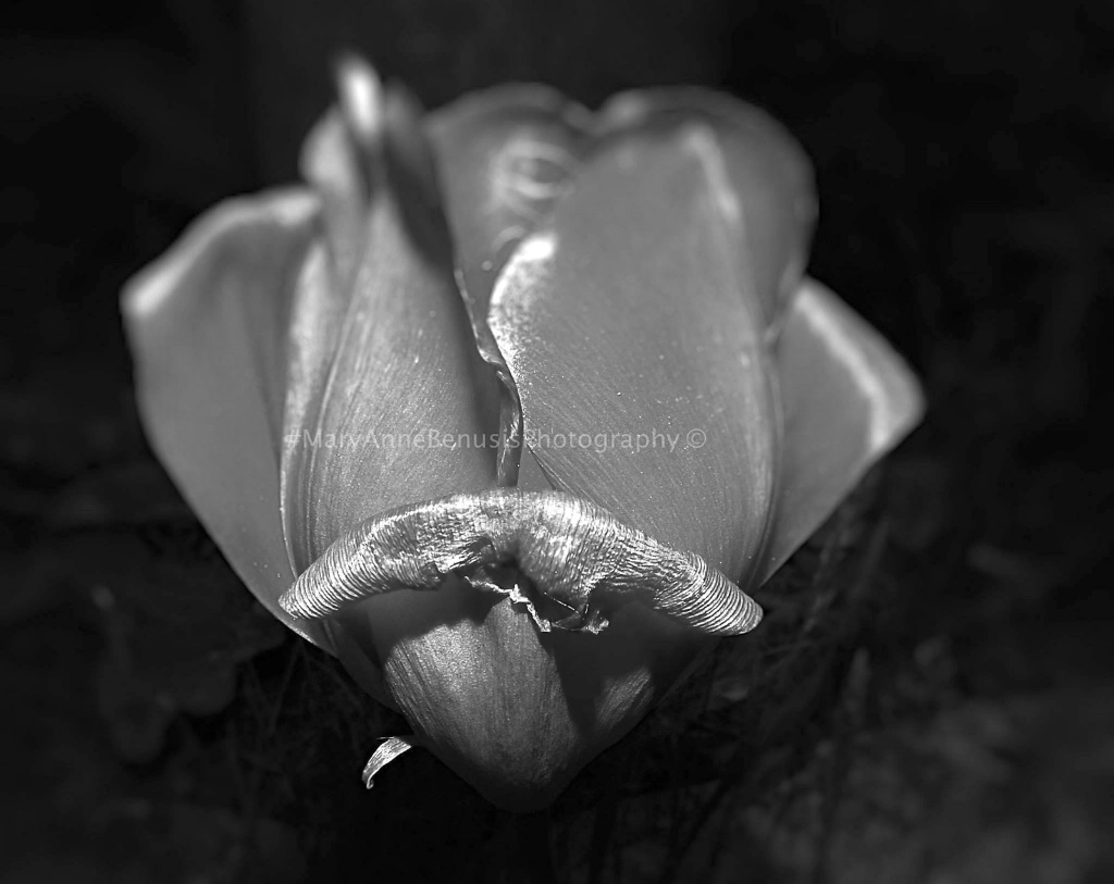 B/W Tulip - ID: 15433908 © Mary-Anne Benusis