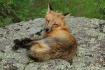 Fox Awake