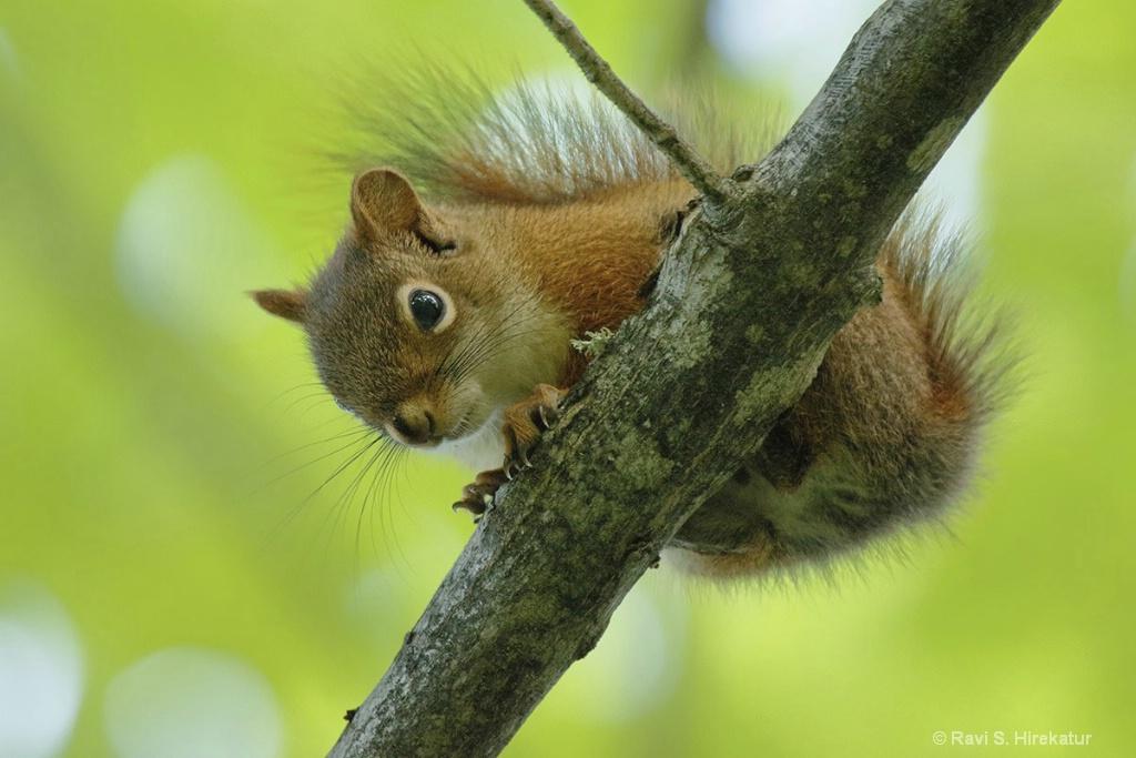 Red Squirrel - ID: 15434244 © Ravi S. Hirekatur