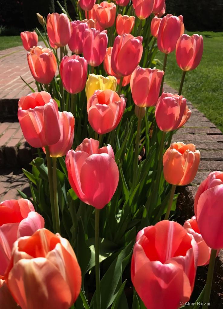 Forever Tulips - ID: 15434387 © Alice Kozar