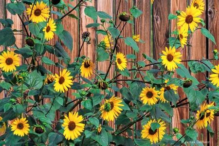 Sunflower Line-up