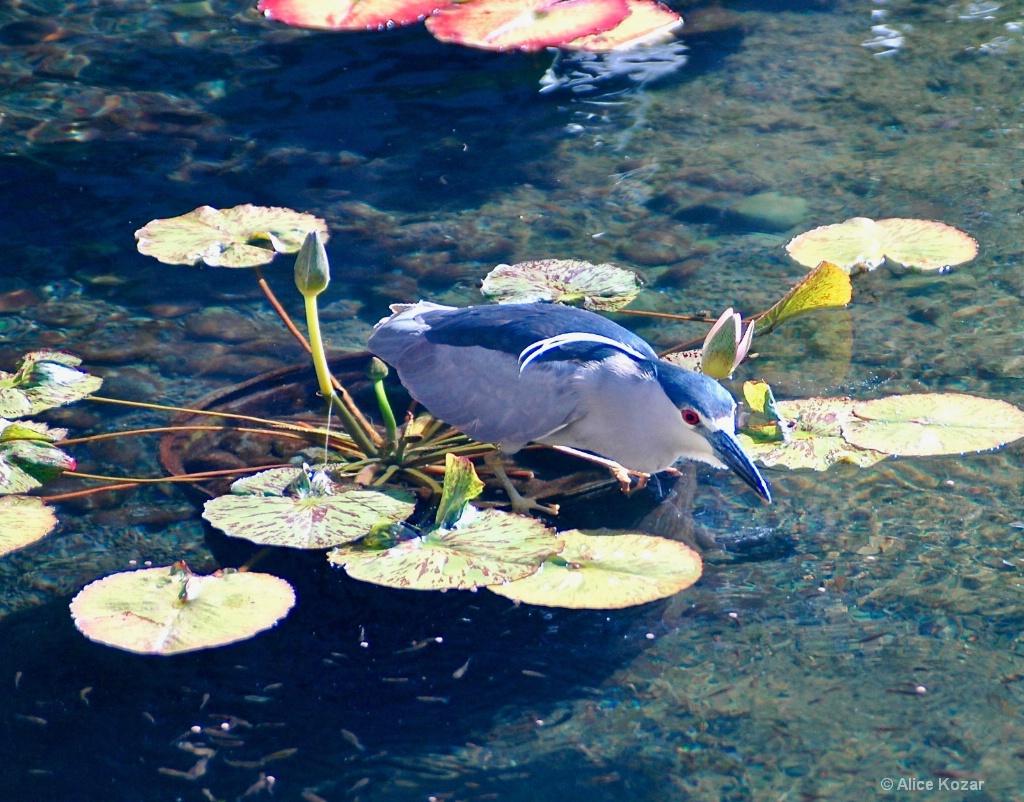 Eyeing His Catch - ID: 15451929 © Alice Kozar