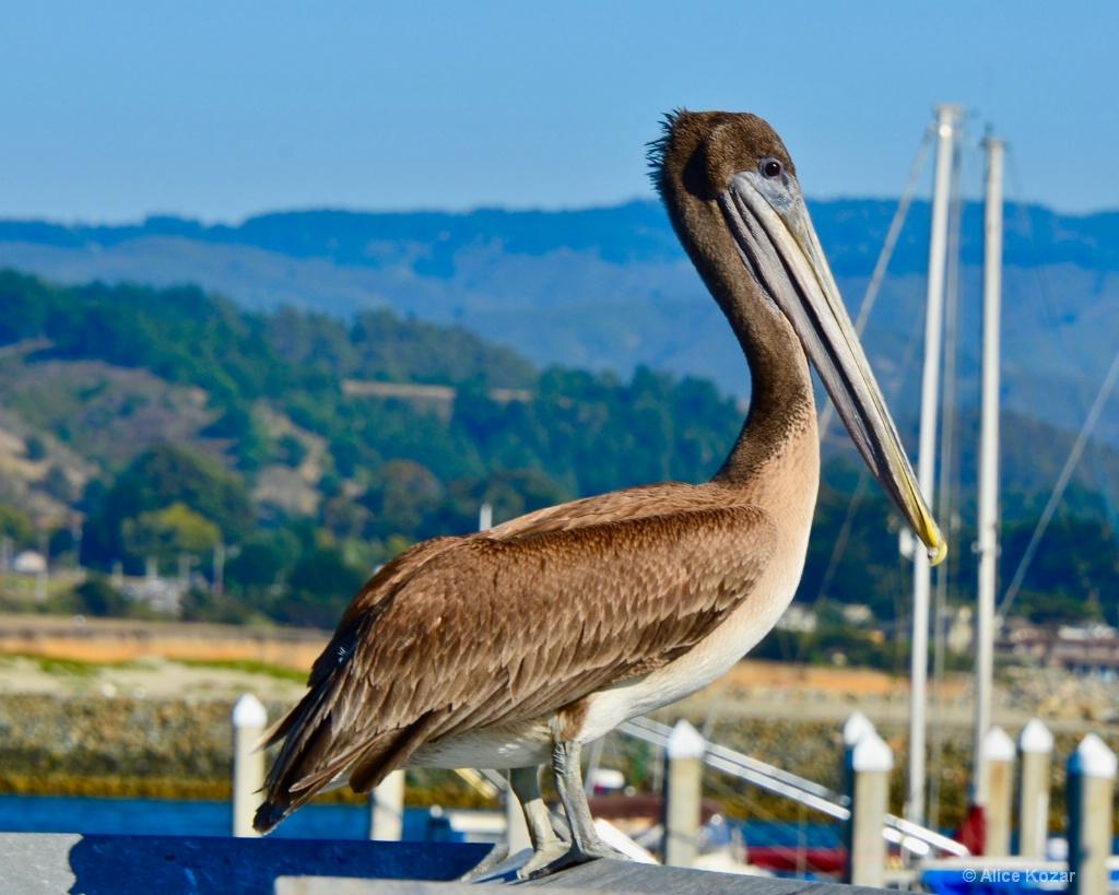 Sir Pelican - ID: 15451932 © Alice Kozar