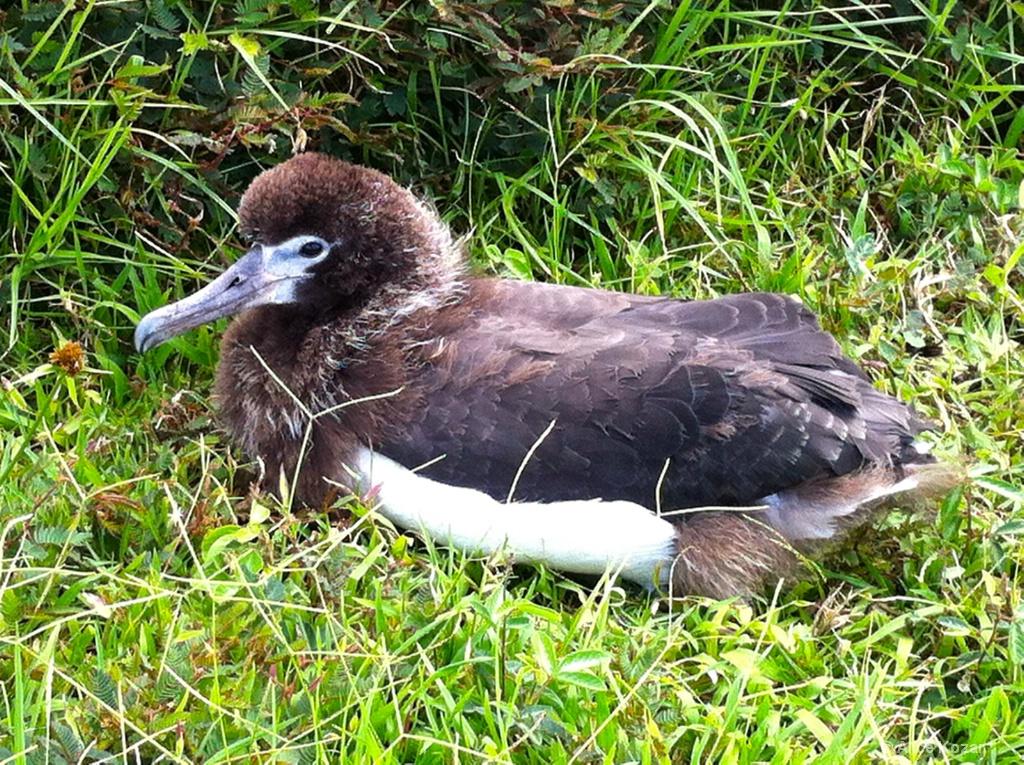 Baby Albatross Waiting For Mom to Return  - ID: 15451934 © Alice Kozar