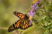 Traveling monarch