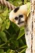 Gibbon Glances (C...