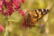 Oh Painted Lady