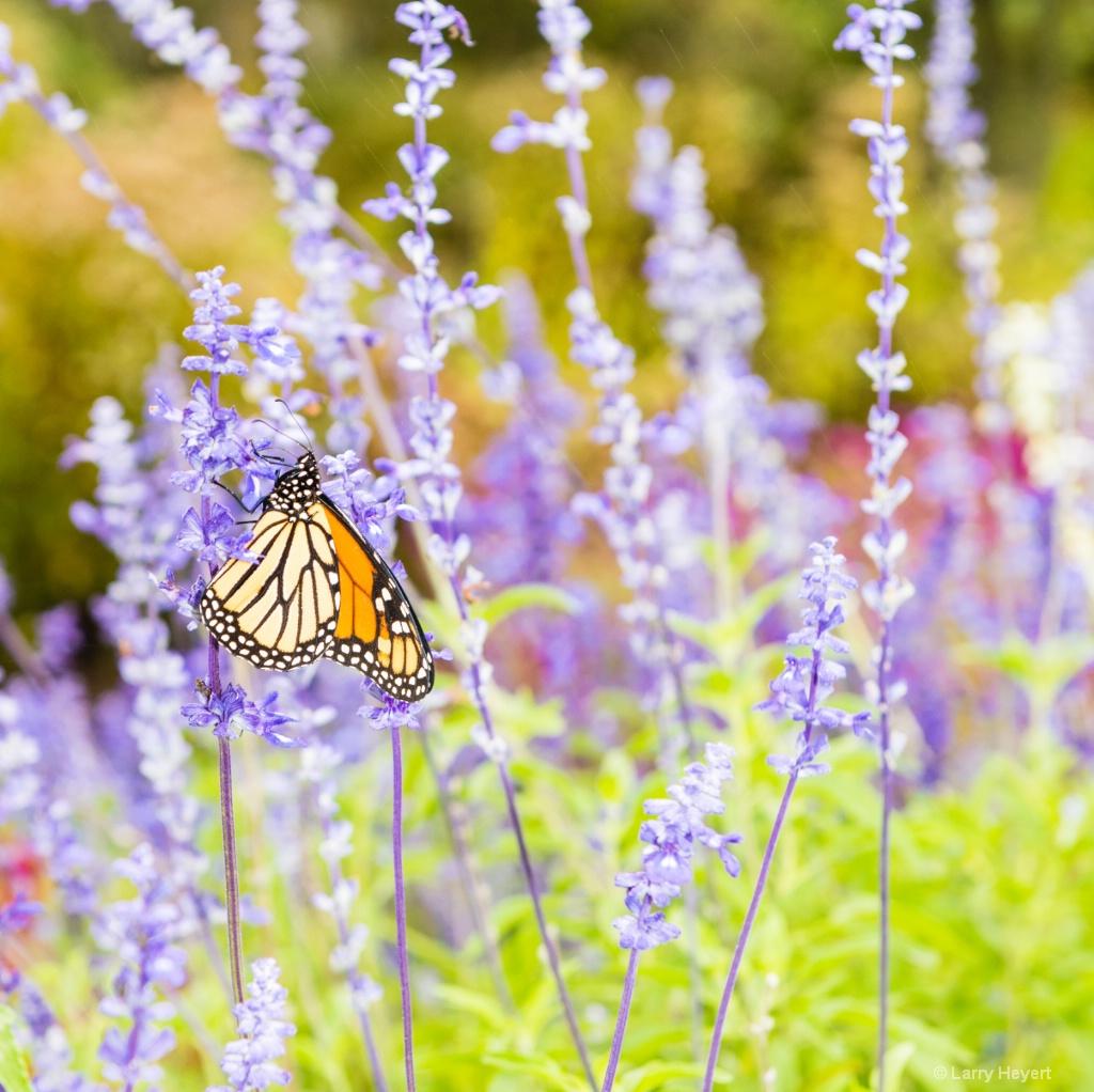 Butterfly - ID: 15471613 © Larry Heyert