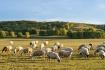 Grassland lambs