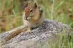 Ground Squirrel N...