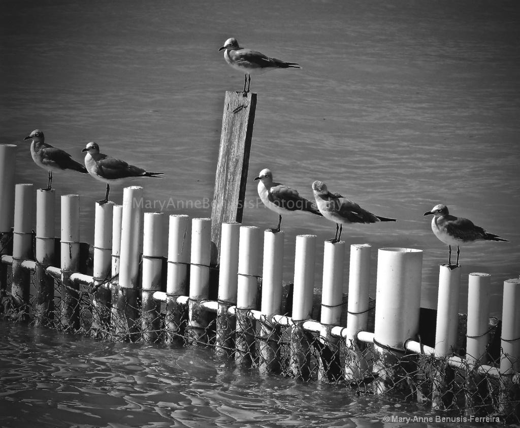 B/W Cancun Seagulls  - ID: 15487689 © Mary-Anne Benusis
