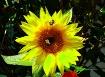 Sunflower Work Cr...