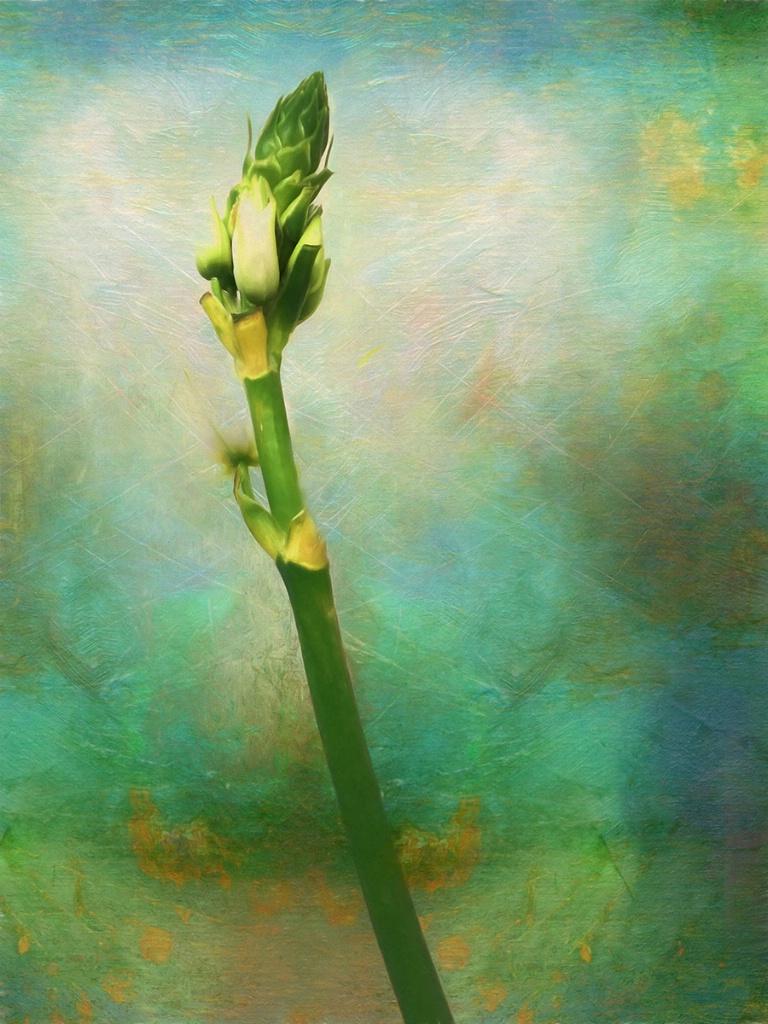 Star of Bethlehem - ID: 15495292 © Sheila Babbie
