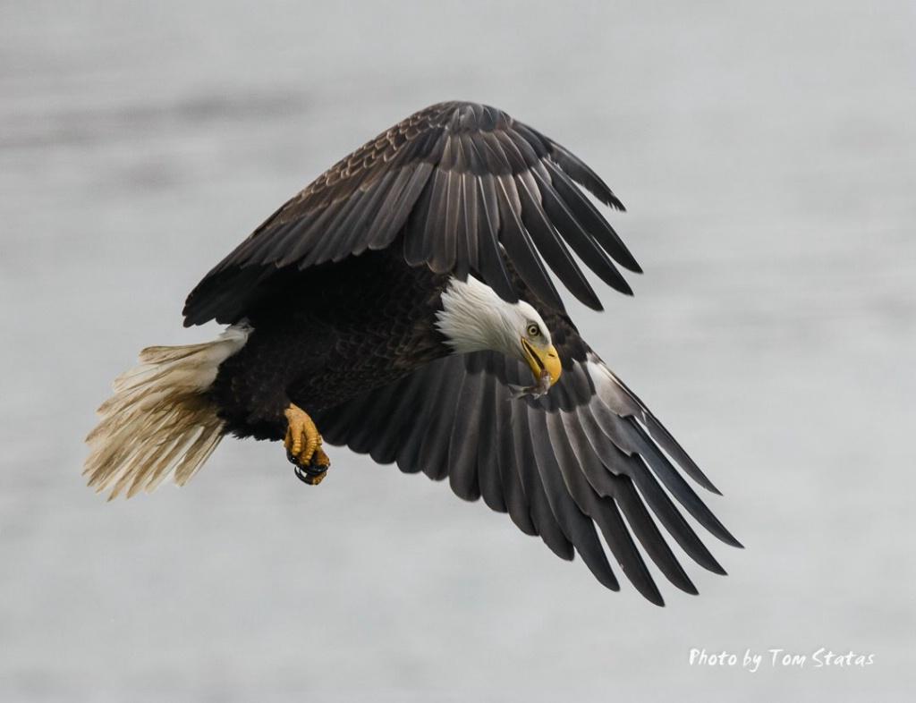 Eagles 2017-12-04 3 of 4 - ID: 15499908 © Thomas  A. Statas