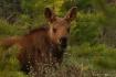 Hello Baby Moose