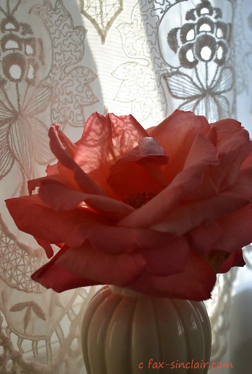 December Rose with Lace - ID: 15500561 © Fax Sinclair