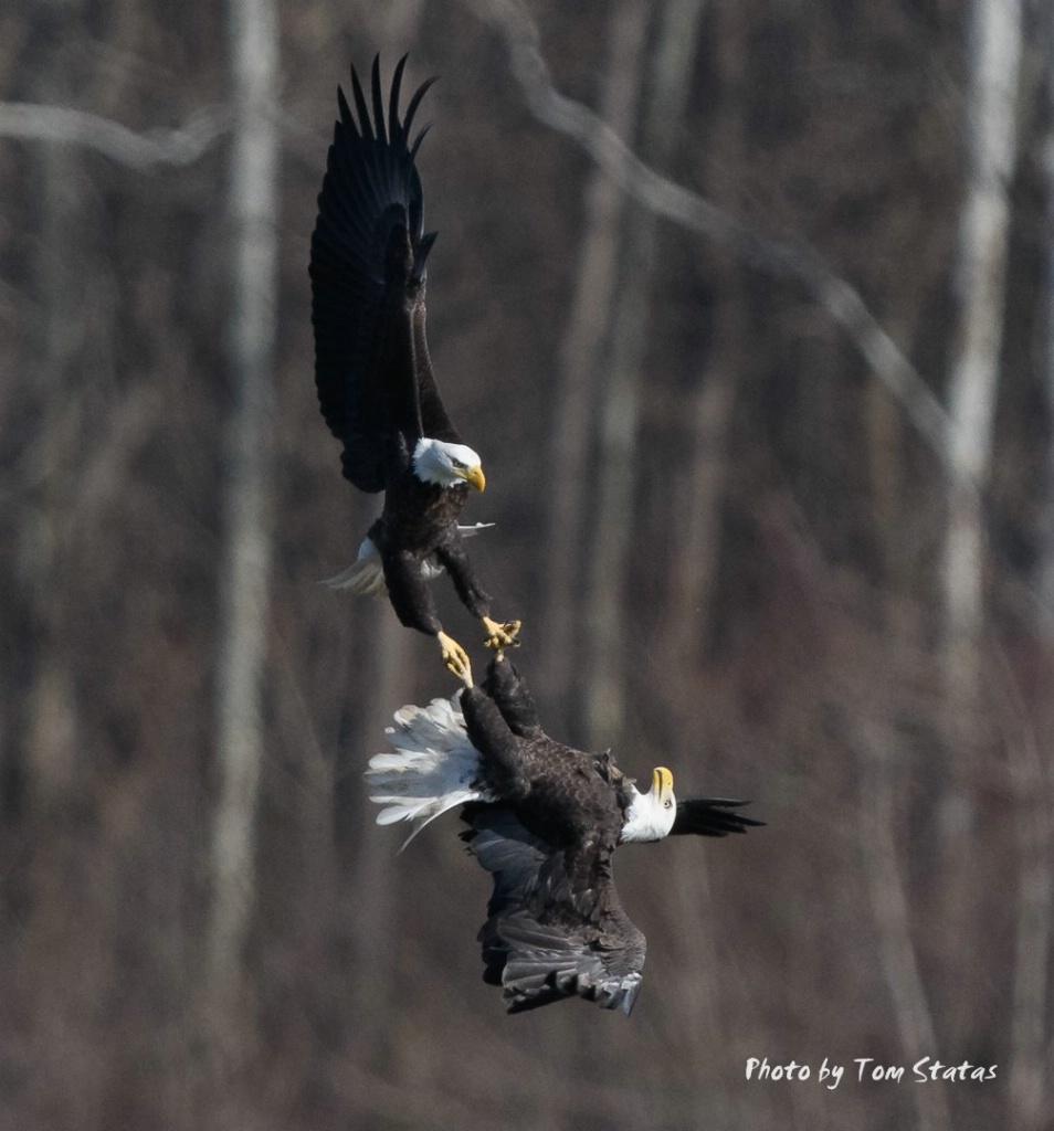 Eagles Locked Talons - ID: 15501247 © Thomas  A. Statas