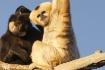 Gibbon Time (C)