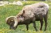 Bighorn Ram Flowe...