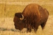 American Bison at...