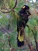 Yellow Tailed Bla...
