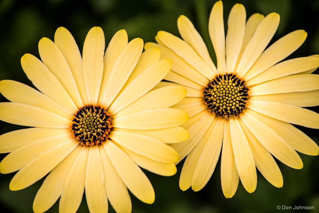Two African Daisies 1-27-18 257 - ID: 15516505 © Don Johnson