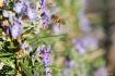 Beneficial Honeyb...
