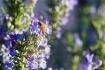 Honeybee on Rosem...