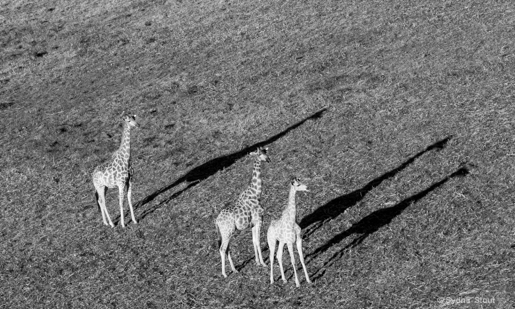 girafes from above - ID: 15517847 © Sydna  Stout