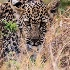 © Sydna  Stout PhotoID # 15517851: leopard stalking