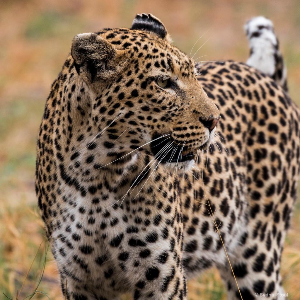leopard - ID: 15517853 © Sydna  Stout