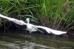 White Heron 3
