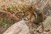 Ground Squirrel H...