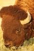 Bison Bison Faces