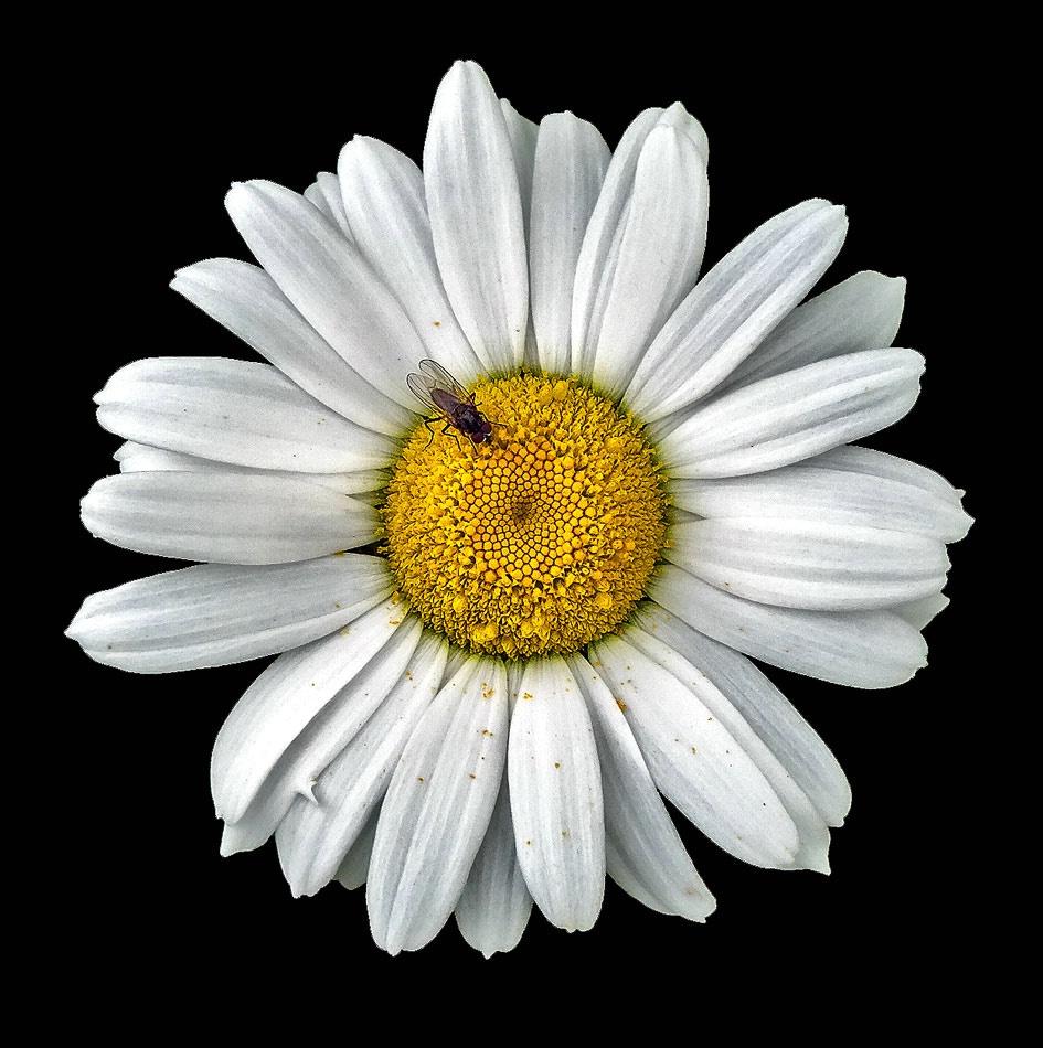 The Detailed Daisy