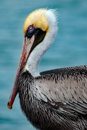 Clearwater Pelican
