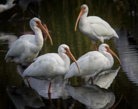IMGL8249 American White Ibis