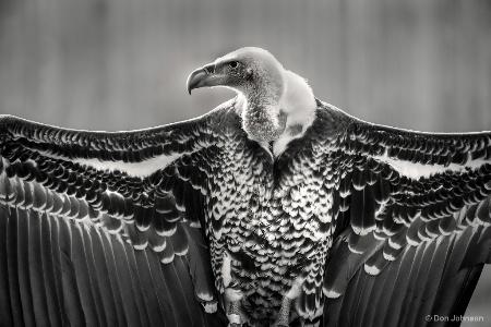 B&W Griffon Vulture 2-20-18 067